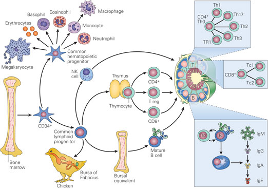 introduction into the immunology of aids Immunology and hiv  immune system's macrophages and dendritic cells on the surface of mucous membranes bind virus and shuttle it into the lymph nodes.