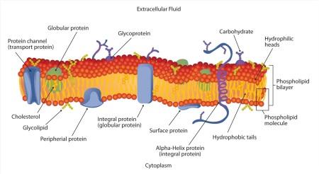 cell2bmembrane