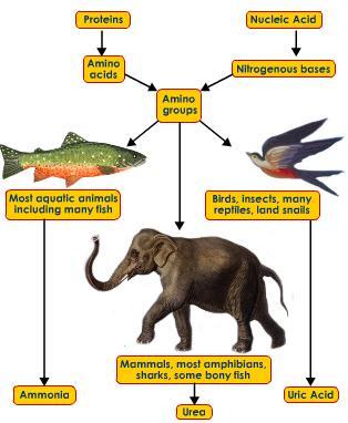 ammonotetic-ureotelic-uricotelic-animals