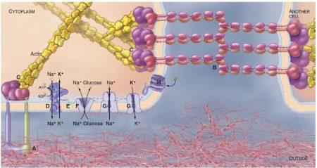 plasma-membrane-e1514173805957