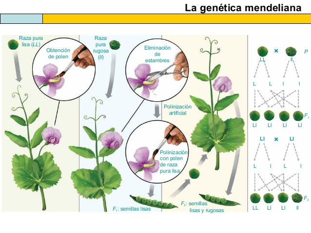 la-gentica-mendeliana-2014-28-638
